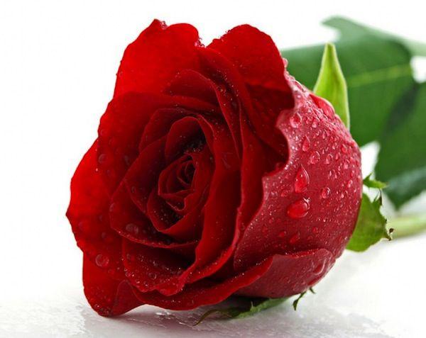 rosas-salud